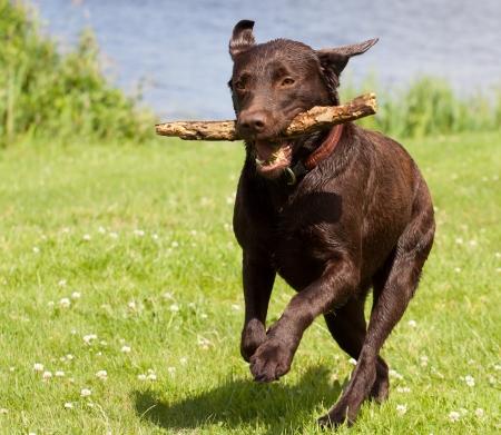 perro corriendo: Un labrador marrón corriendo con un palo en la boca en un campo de hierba
