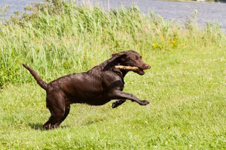 A very wet Brown labrador running with a stickin its mouth in a grass field photo