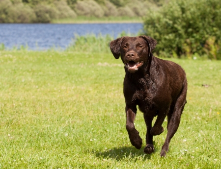 A Brown labrador is running  in a grass field