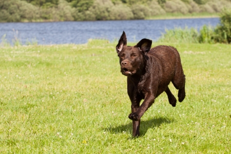 A Brown labrador is running  in a grass field