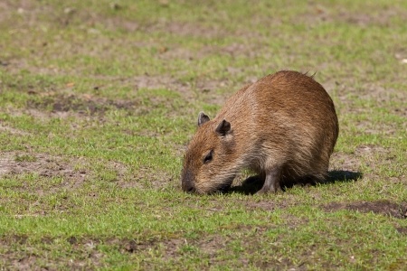 largest: Young capybara cub foraging in a field
