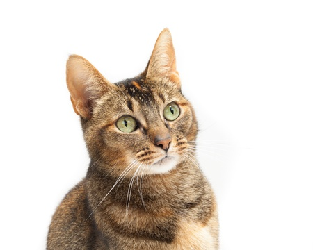 head shots: Portrait of a Purebred Abyssinian cat on a white background