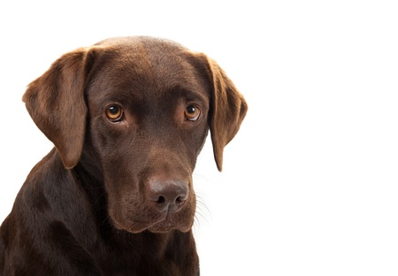 A brown labrador looking sad against a white background photo