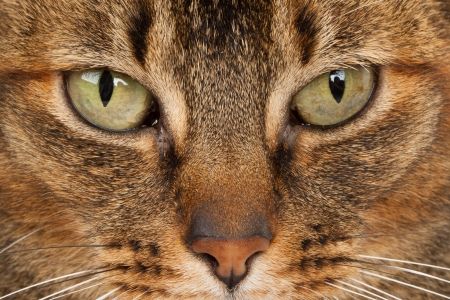close up of a purebred Abyssinian cat photo