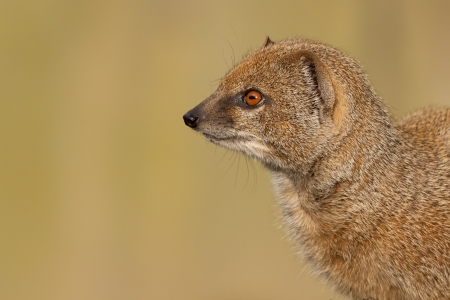 Portrait of a meerkat (Suricata suricatta) photo