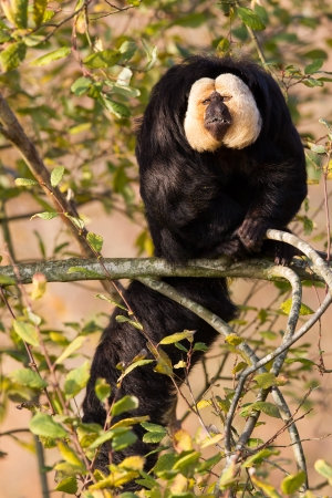 saki: White-faced Saki (Pithecia pithecia) or also known as Golden-face saki monkey in a tree Stock Photo