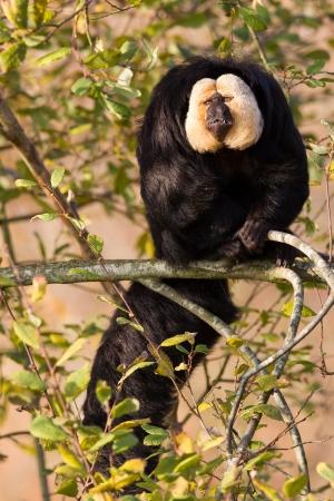 saki: White-faced Saki (Pithecia pithecia) or also known as Golden-face saki monkey in a tree Stock Photo