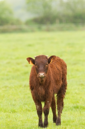 red heifer: Red Angus Calf standin in a meadow