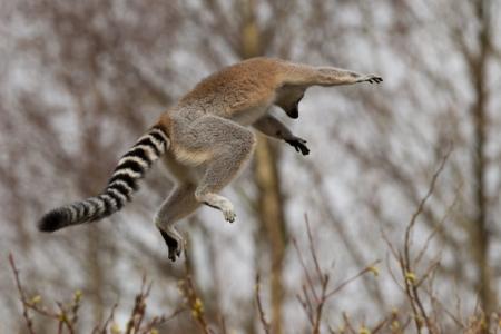 flying monkey: A jumping Ring-tailed lemurs (Lemur catta)