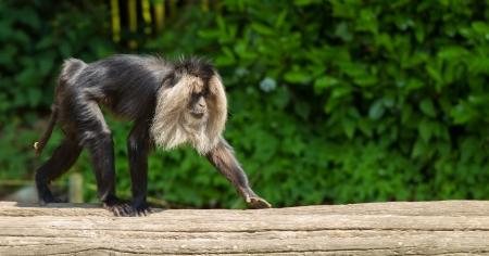 genitali: macaco dalla coda di leone. Il suo noto anche come wanderoo, bartaffe, barba e scimmia Macaca Sileno.