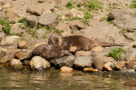 aonyx cinerea: Oriental Small-Clawed Otter couple on a rocky shore Stock Photo