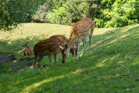 Spotted deer (axis axis) foraging in the shade photo