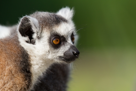 A portrait of a young Ring-tailed lemur photo