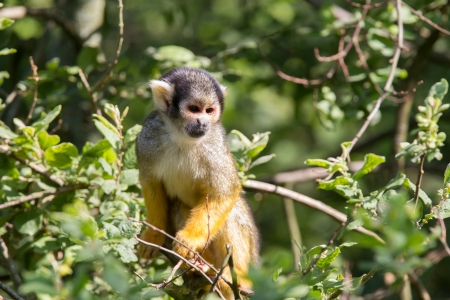 rare animal: common squirrel monkey sitting in a tree Stock Photo