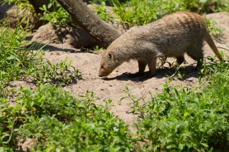 mongoose: banded mongoose is foraging Stock Photo