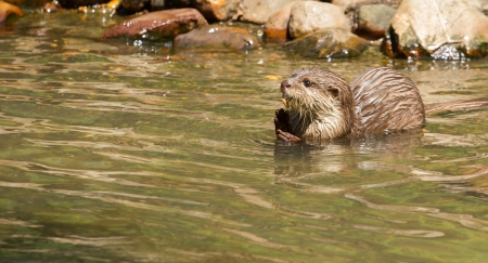 aonyx: Oriental Small-Clawed Otter is foraging in water Stock Photo
