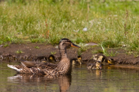 Mother duck guarding ducklings while they forage Stock Photo - 21126376