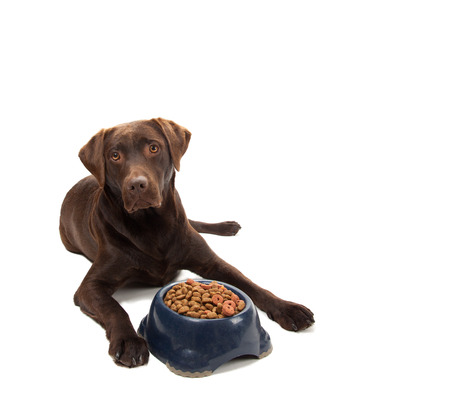 A brown labrador laying next to a bowl with dry dog food