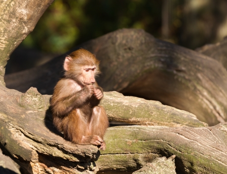 A young hamadryas baboon is sitting and eating photo