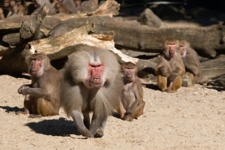 An aggressive male baboon is defending its group photo
