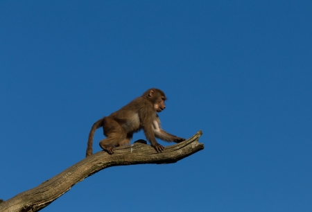 A young hamadryas baboon climbing in a tree with a blue sky as background photo