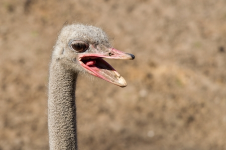 Ostrich headshot with open beak close-up photo