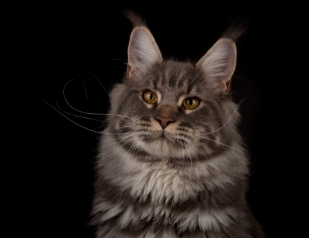 Maine coon portrait on a black background photo