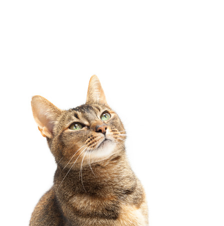 Purebred Abyssinian cat looking up on a white background Stock Photo