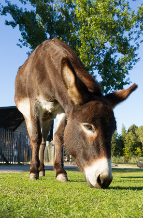 A donkey is grazing on a farm yard photo