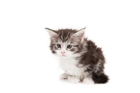 Cute Maine Coon kitten sitting isolated on white background photo