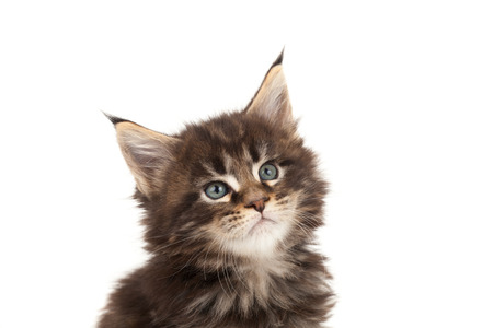 Cute Maine Coon kitten portrait isolated on white background photo