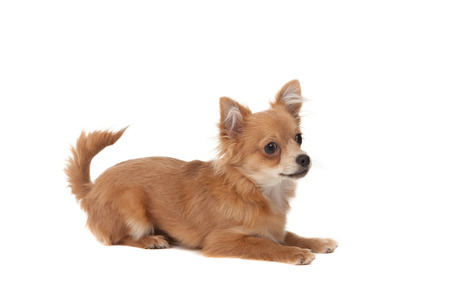 long haired chihuahua: Long haired chihuahua puppy dog in front of a white background