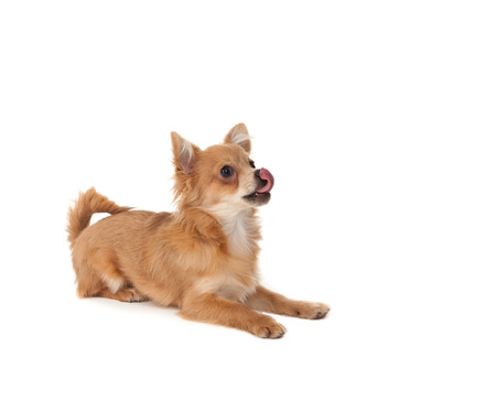 long haired chihuahua: Long haired chihuahua puppy dog licking in front of a white background