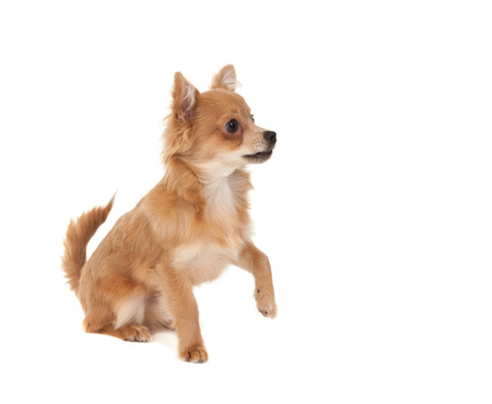 long haired chihuahua: Long haired chihuahua puppy dog with one paw in the raised on a white background