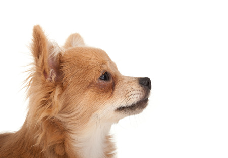 Long haired chihuahua puppy dog portrait in front of a white background photo