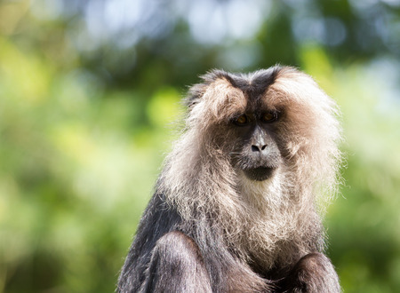 genitals: lion-tailed macaque Portrait. Its also known as wanderoo, bartaffe, beard ape and macaca silenus. Stock Photo