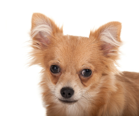 long haired chihuahua: Close-up of a Long haired chihuahua puppy dog in front of a white background