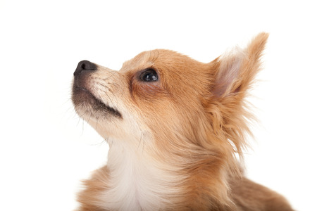 long haired chihuahua: Long haired chihuahua puppy dog looking up in front of a white background Stock Photo