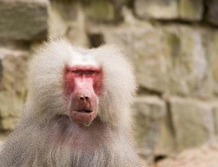 A portrait of a scarred male hamadryas baboon photo