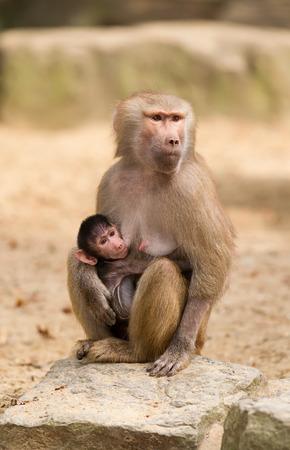 Baby hamadryas baboon hanging on mother photo