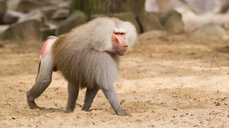 Male hamadryas baboon is walking on the ground photo