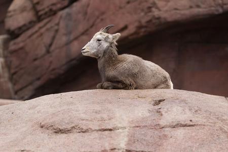 bighorn sheep: Youg pecore bighorn sdraiato su una roccia