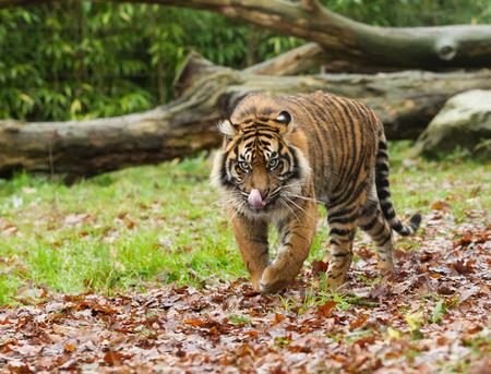 panthera tigris sumatrae: Sumatran Tiger Licking Lips Framed by Greenery Panthera Tigris Sumatrae
