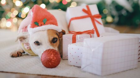 Dog looking at the camera. Christmas and New year concept.