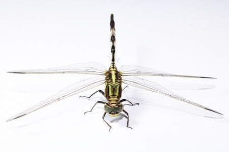 closeup: Dragonfly isolated on white background front view