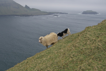 a white sheep with a spotted lamb on the mountainside on the Vagar Island of the Faroe Islands with the Atlantic Ocean in the background