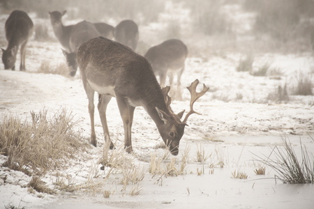 low key image in white tones of a herd of fallow deer (Dama dama) walking around in misty winter day