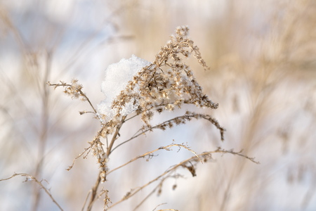 Horizontal wintertime close-up image of a bright-lit Canadian Goldenrod (Solidago canadensis, Kanadische Goldrute) covered with snow. Image with shallow depth of field and blurred background. Stock fotó