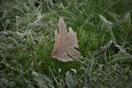 Horizontal image with shallow depth of field of a frozen Maple Leaf in brown color laying in green grass covered with ice crystals on a chilly autumn day