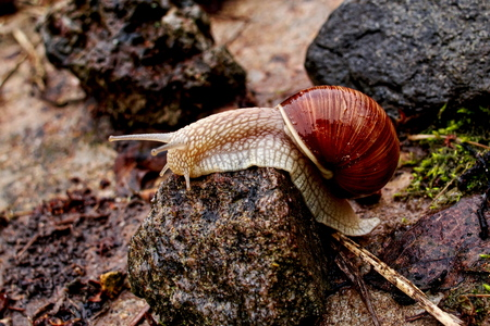 Horizontal closeup image of Helix pomatia (Burgundy snail, Roman snail, edible snail, Weinbergschnecke, escargot) in dark reddish tones and high contrast with selective focus gliding on the stones Imagens